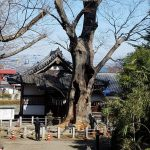 樹齢470年の大けやき